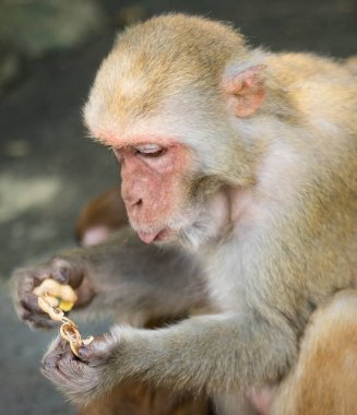 Picture of the old Macaque Rhesus eating