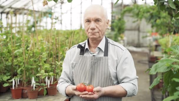 Portrait of an elderly gardener man in an apron smiling and holding tomatoes in his hands in a greenhouse.