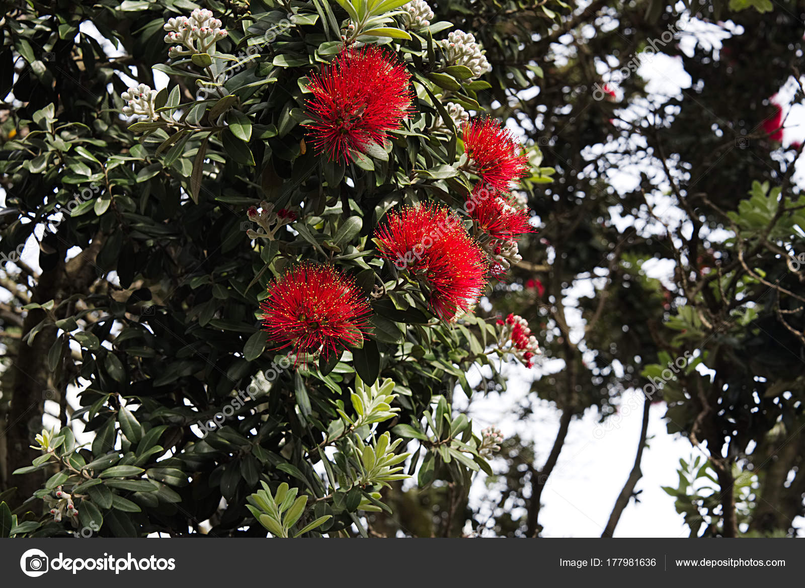 New Zealand Christmas Trees In Auckland A Stock Photo C Wgcosby