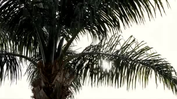 Palm Tree in Sunset - TIme Lapse