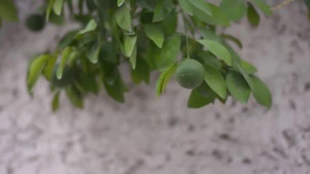 Kopírování citron od stromu