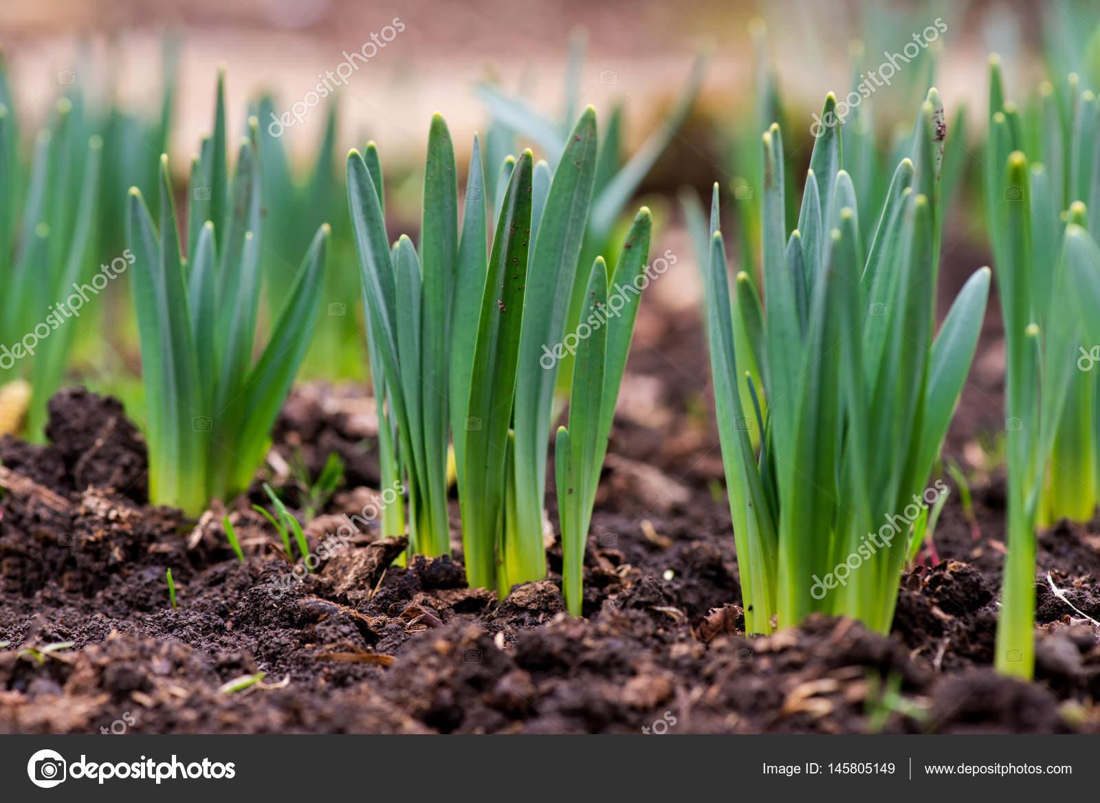 Germ es printemps fleurs jonquilles au jardin au d but du printemps photographie dimitrova - Taille du pecher au printemps ...