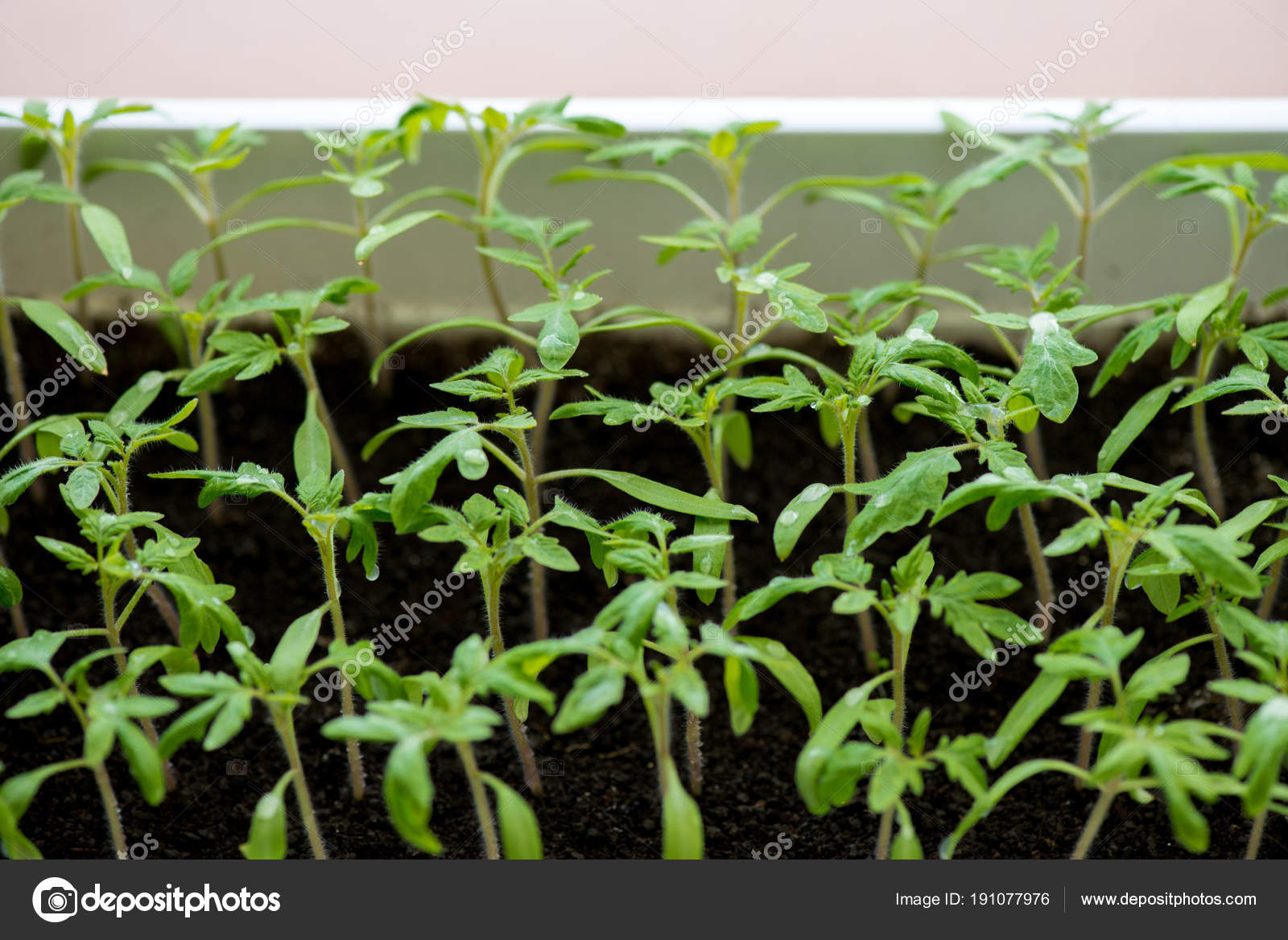 tomato seedlings growing in a greenhouse selective focus copy
