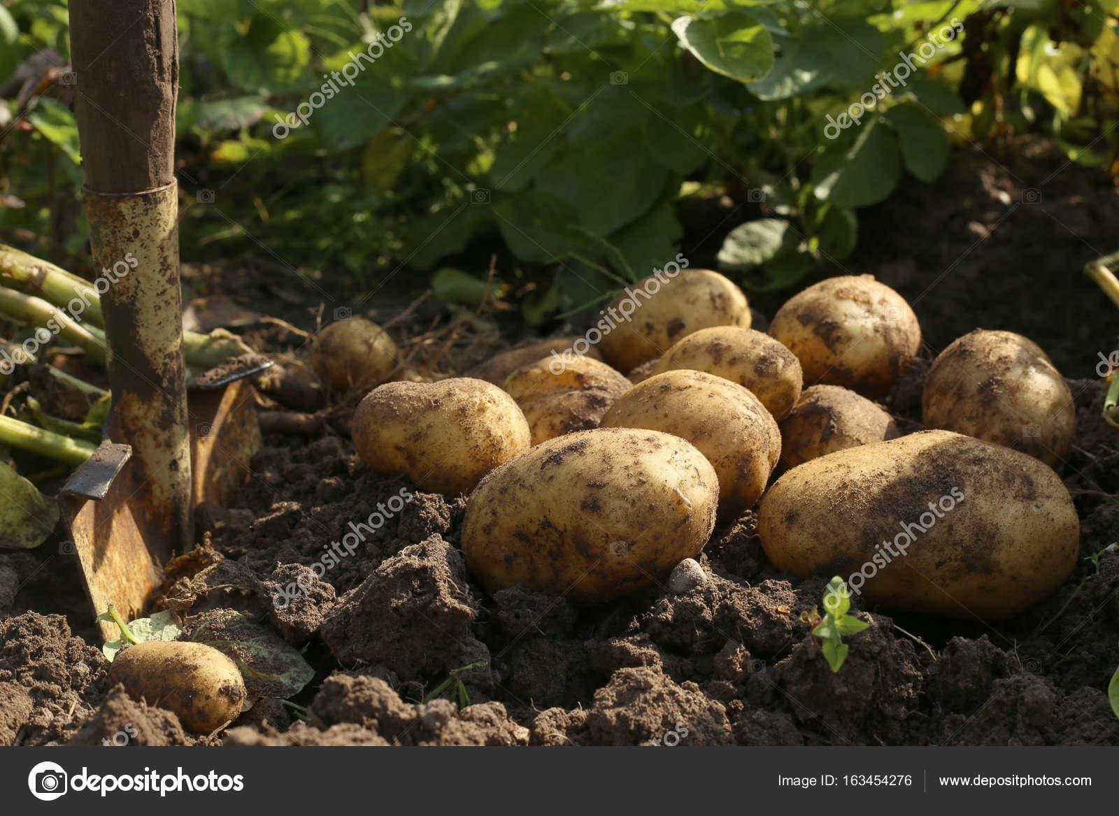 Digging potatoes in garden. — Stock Photo © Vaitekune #163454276