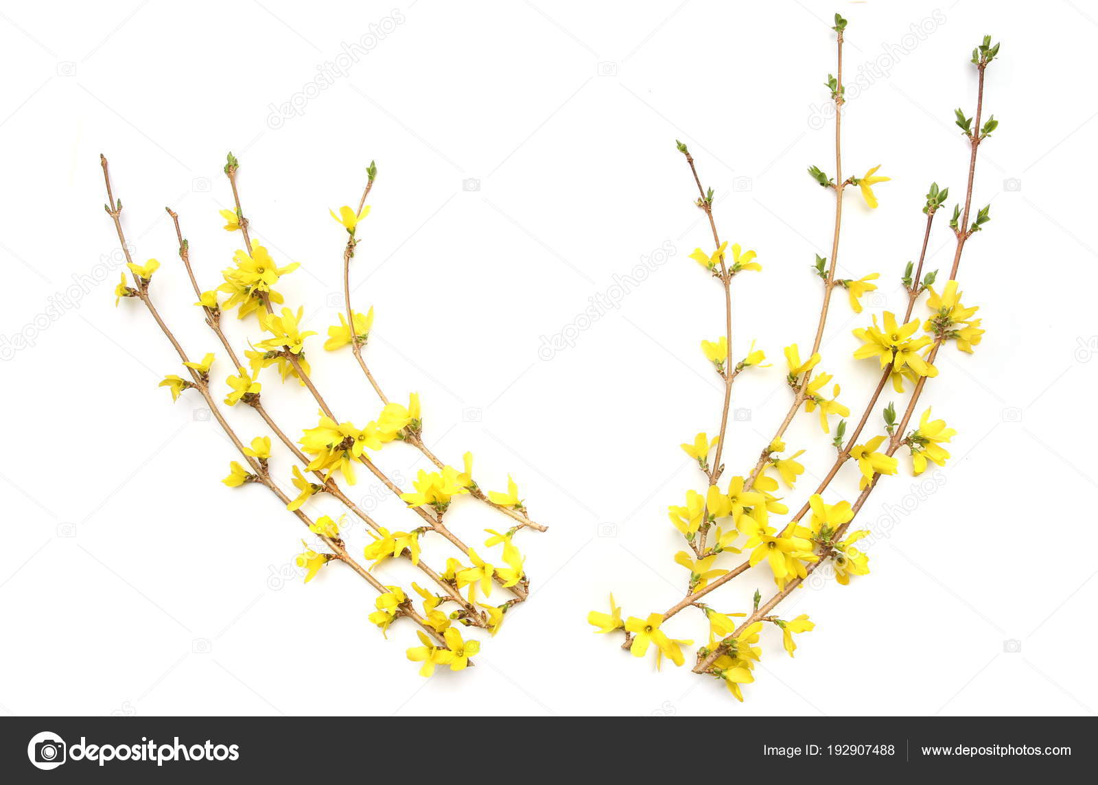 Forsythia Branches Yellow Flowers Isolated White Background Spring