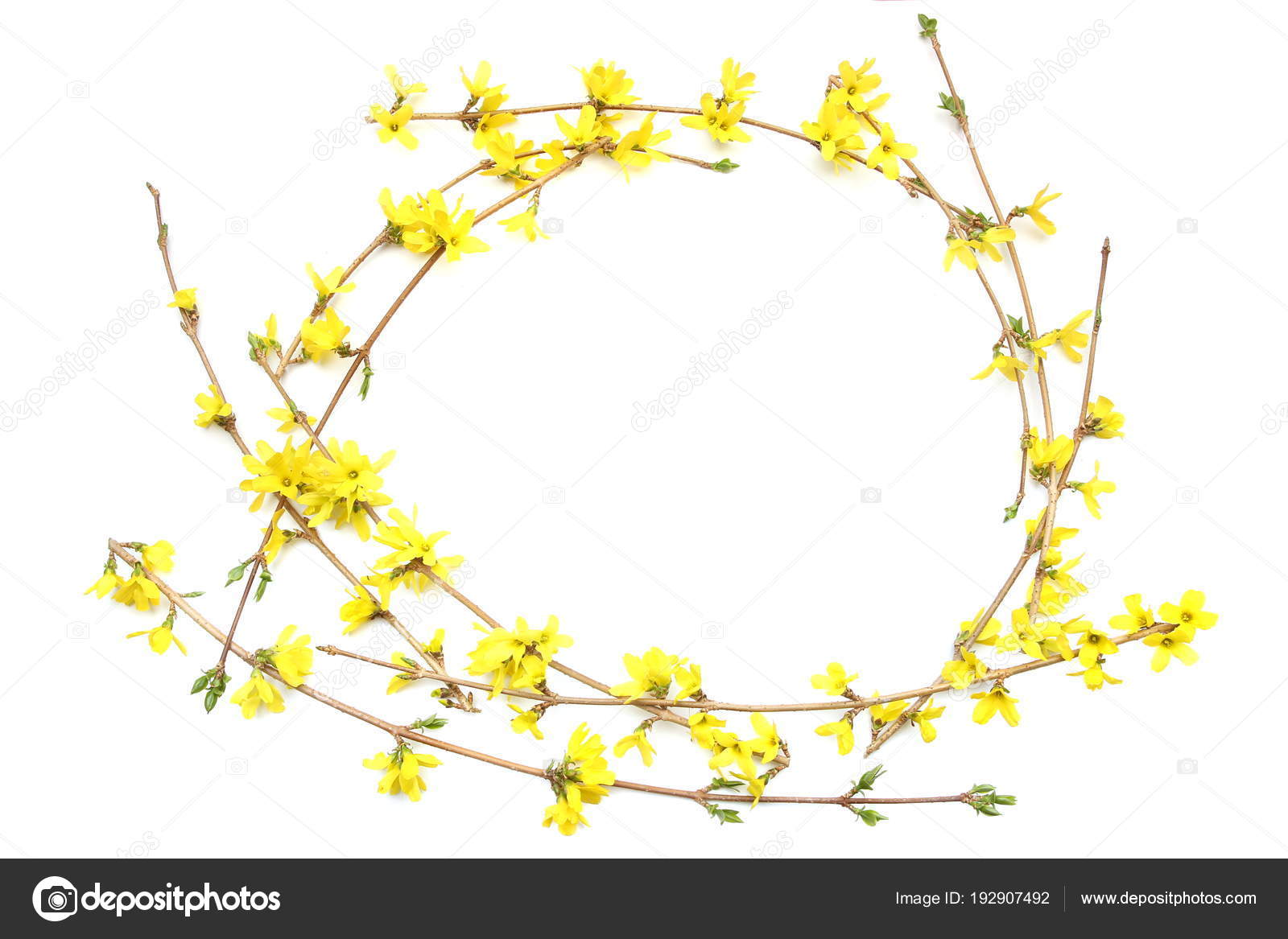 Frame Forsythia Branches Yellow Flowers Isolated White Background