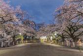 Fiori di ciliegio a Tokyo, Giappone