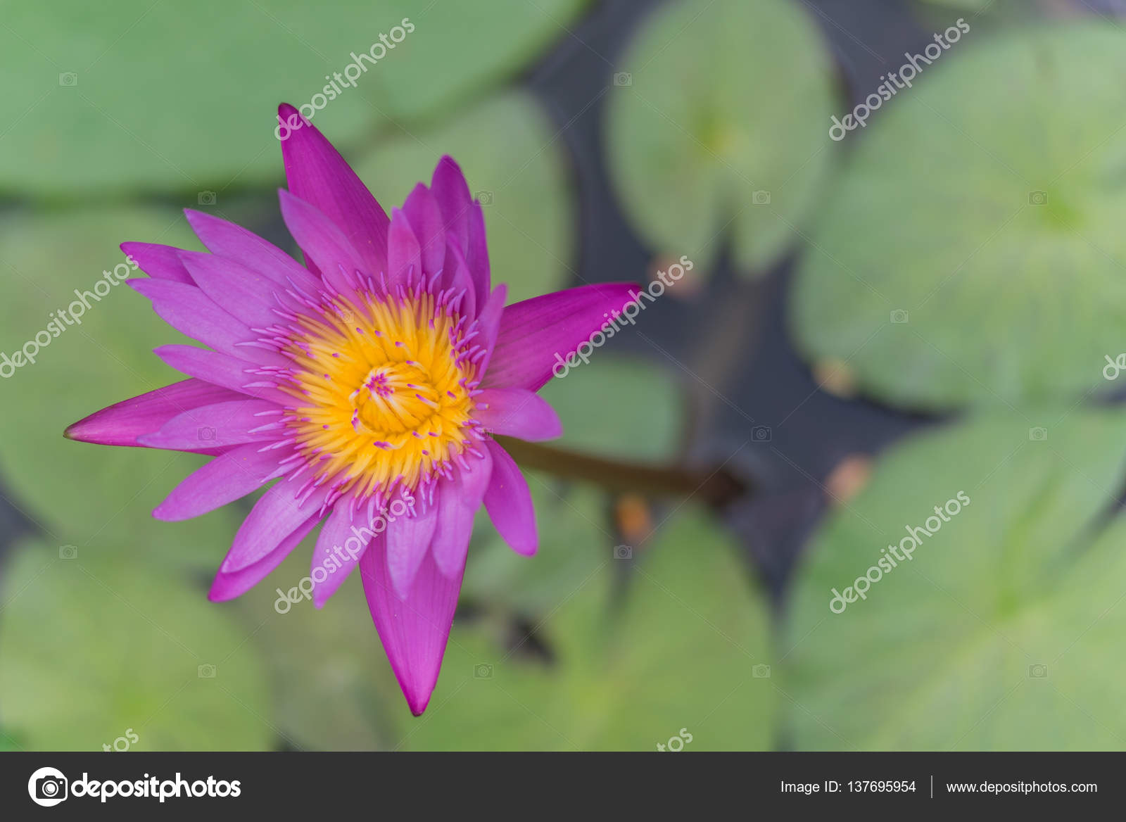 Lotus Flower Blossom Stock Photo Navapon 137695954