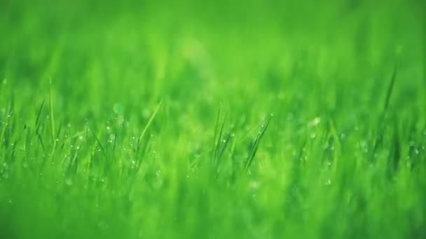 Rozostřené trávy rosou kapky v jarní sezóně.