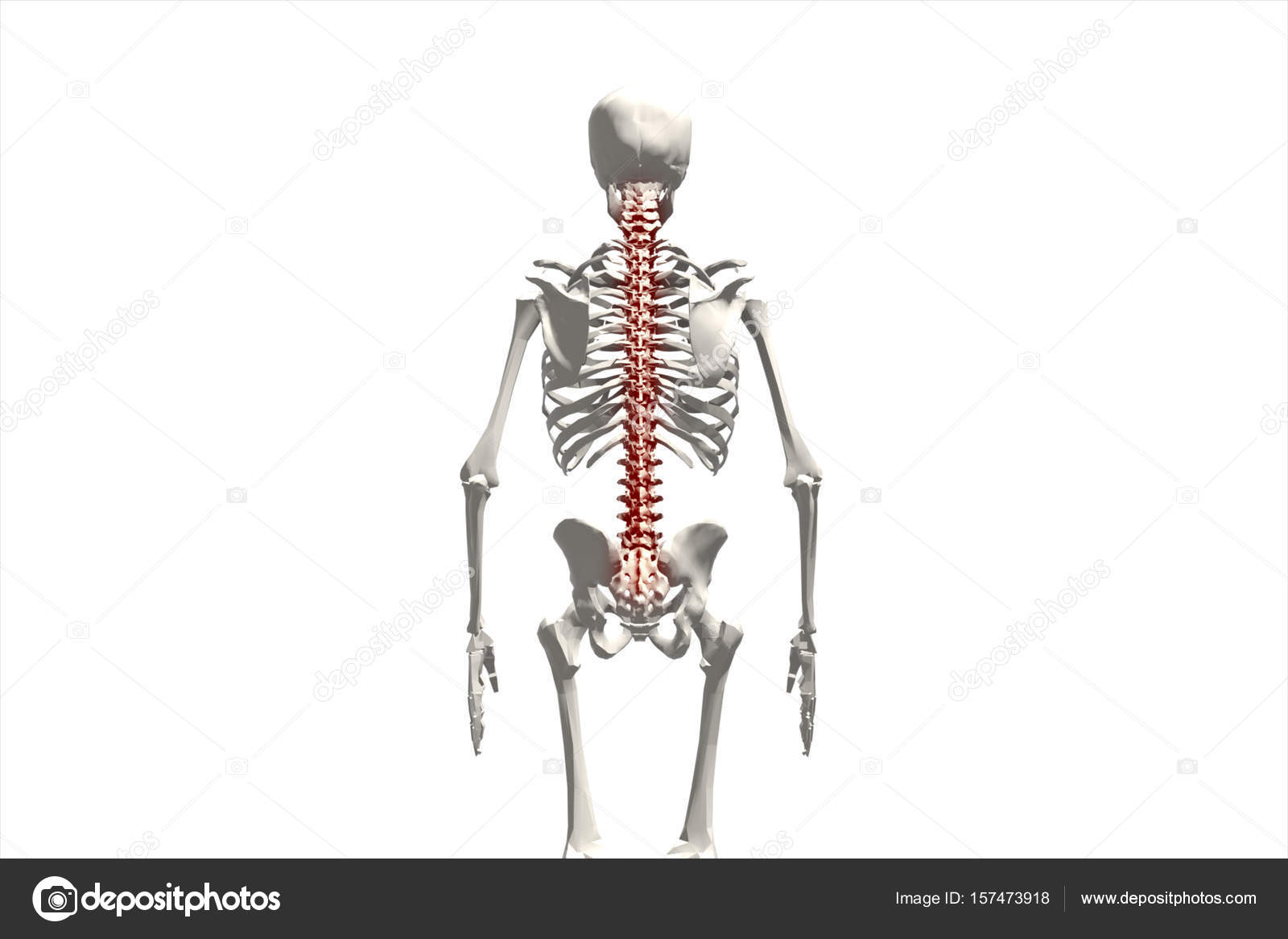 Human skeleton, illustration of the spine, back pain isolated on ...