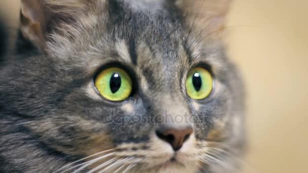 Šedá kočka blízko se velké zelené oči se dívá na kameru
