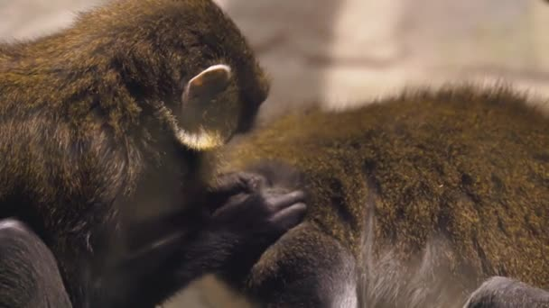 Macaque assisting other monkey to clean fleas from fur. Amazing animal behavior in slow motion
