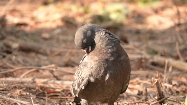 Dove tisztítja a csőr, a szárnyak, a lassú mozgás
