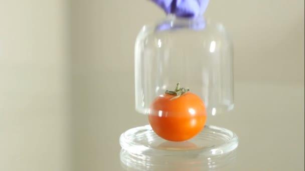 Ruka je vyndání rajčat ze skla cloche