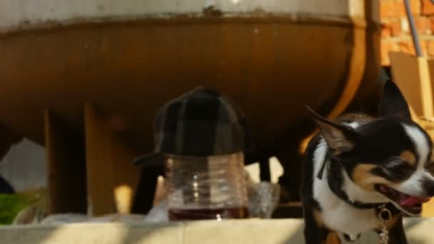 Chihuahua walks the flea market