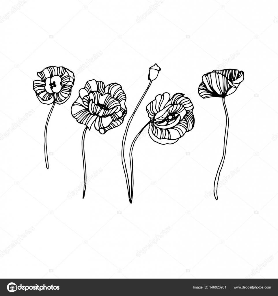 amapola, naturaleza, flores, vector, planta, patrón, dibujo ...