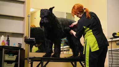 A professional groomer in my shop cuts a large black Terrier with clippers hair. Skill