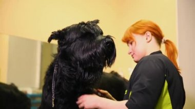A professional groomer in my shop cuts a large black Terrier with clippers hair. Caring for a dog