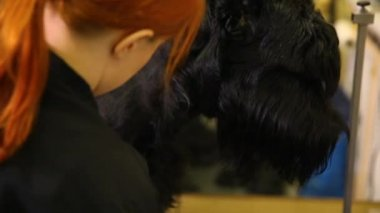 A professional groomer in my shop cuts a large black Terrier with clippers hair. Close-up face of a dog