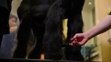 Two woman close-up shear a large black dog with scissors. Cut off the paws.
