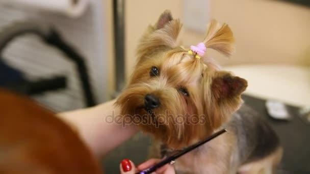 Tijeras De Cortan El Pelo En La Cara De Perros Close Up Principales Cortes De Pelo Para Mascotas