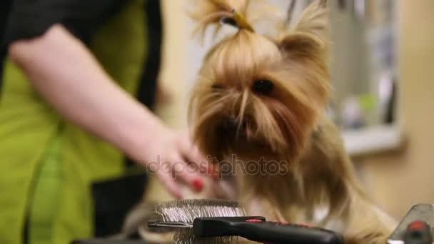 Una Mujer En Groomer Profesional Especial Ropa Tijeras Un Yorkshire Terrier Para Una Exposición De Belleza Un Perro Pequeño Zoosalon