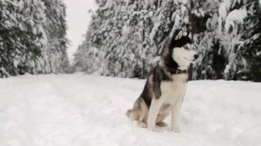 Siberian husky sits in the forest on a path against the backdrop of a winter forest. Beautiful winter dog in the forest.