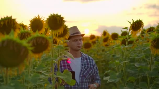 Farmer on the field with sunflowers works on the ipad in summer evening