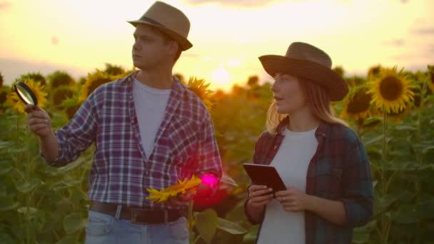 Két botanikus a napraforgó mezőn.