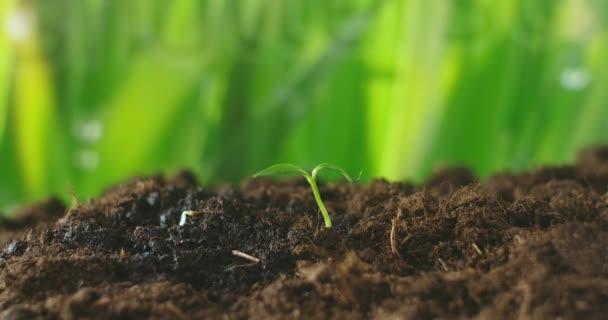 Rostoucí zelená rostlina. Mladá rostlina. Sapling roste z půdy se slunečním světlem. Malý strom rostoucí se slunečním svitem v zahradě. Eko koncept. Lidské ruce.