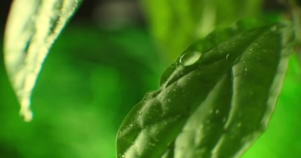 Beautiful green leaf after the rain. Close-up. Super Slow-Mo: Raindrops Falling On A Green Leaf. Fresh Aloe vera Gel dripping Macro Closeup
