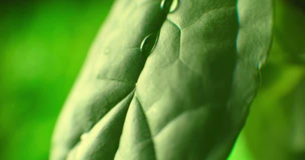 Voda kapka teče dolů na list, Krásné realistické. Super zpomalení kapání vody z listí. Kapky vody. List s kapkami detailní sekvence.