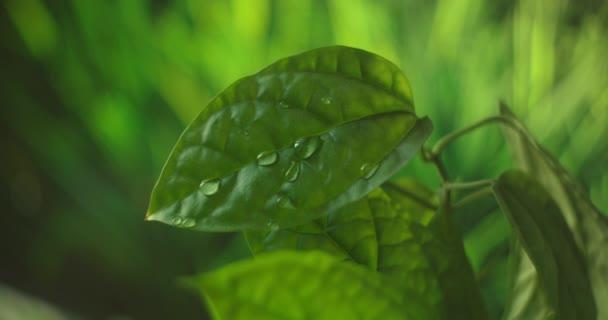 Beautiful green leaf after the rain. Close-up. Super Slow-Mo: Raindrops Falling On A Green Leaf. Fresh Aloe vera Gel dripping Macro Closeup