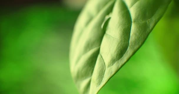 Makro: kamera sleduje kapku vody stékající po zeleném listu rostliny. Zpomalte pohyb krásné kapky rosy. koncepce čisté a zdravé planety. panenská příroda.