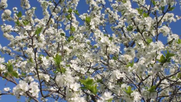Bees pollinate fruit trees the white flowers of the blackthorn bees pollinate fruit trees the white flowers of the blackthorn stock video mightylinksfo