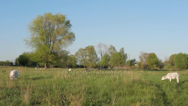 Stádo bílých koz na louce v obci