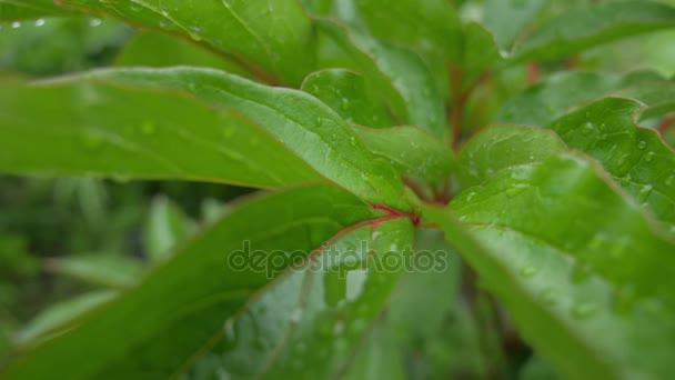 Makro snímek zelených listů s kapky rosy vody nad