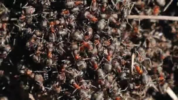 Anthill s červenými mravenci na jaře zblízka. makro