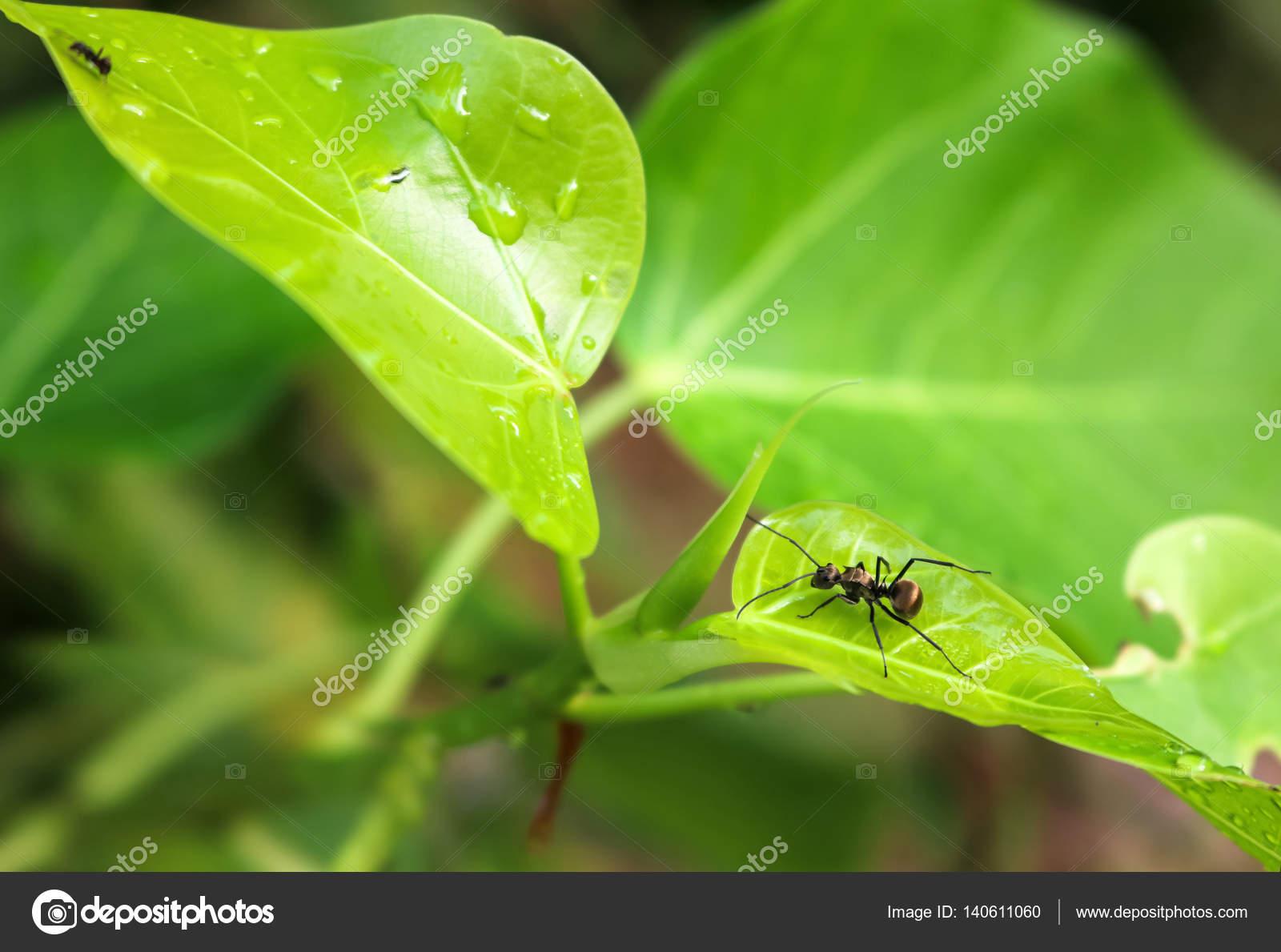 Hormigas con gotas de lluvia en las hojas — Fotos de Stock © gonnjdi ...
