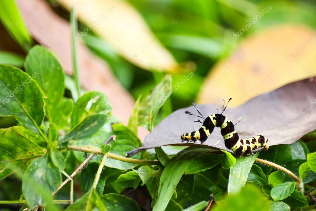 Black and yellow hairy caterpillars.