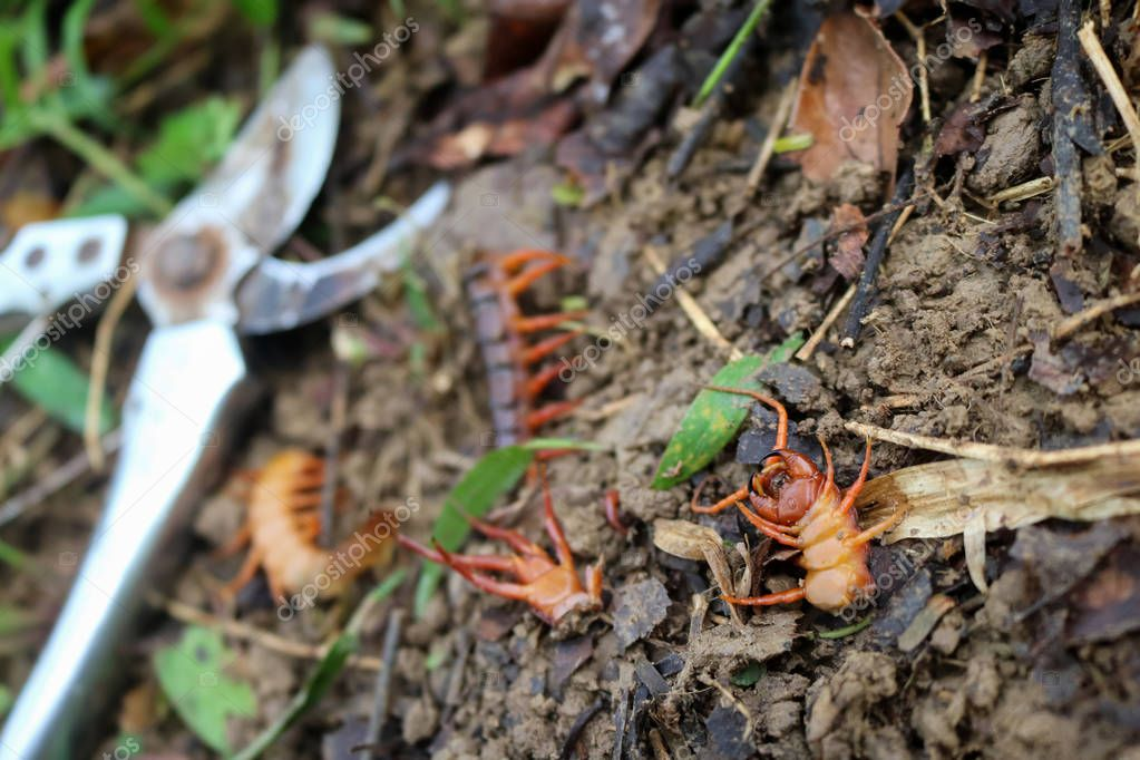 Gardener kill a centipedes poisonous animals in the garden
