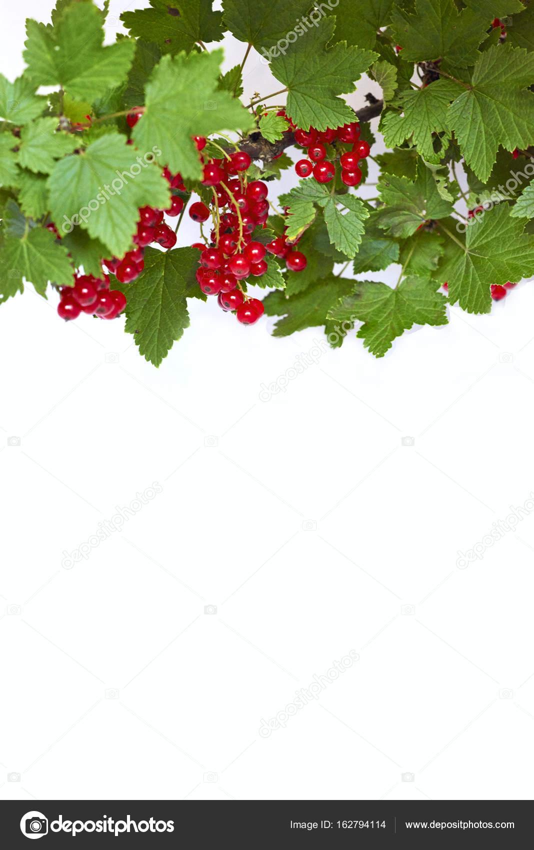Bündel von roten Johannisbeeren auf einem Zweig - mock-up Vorlage ...