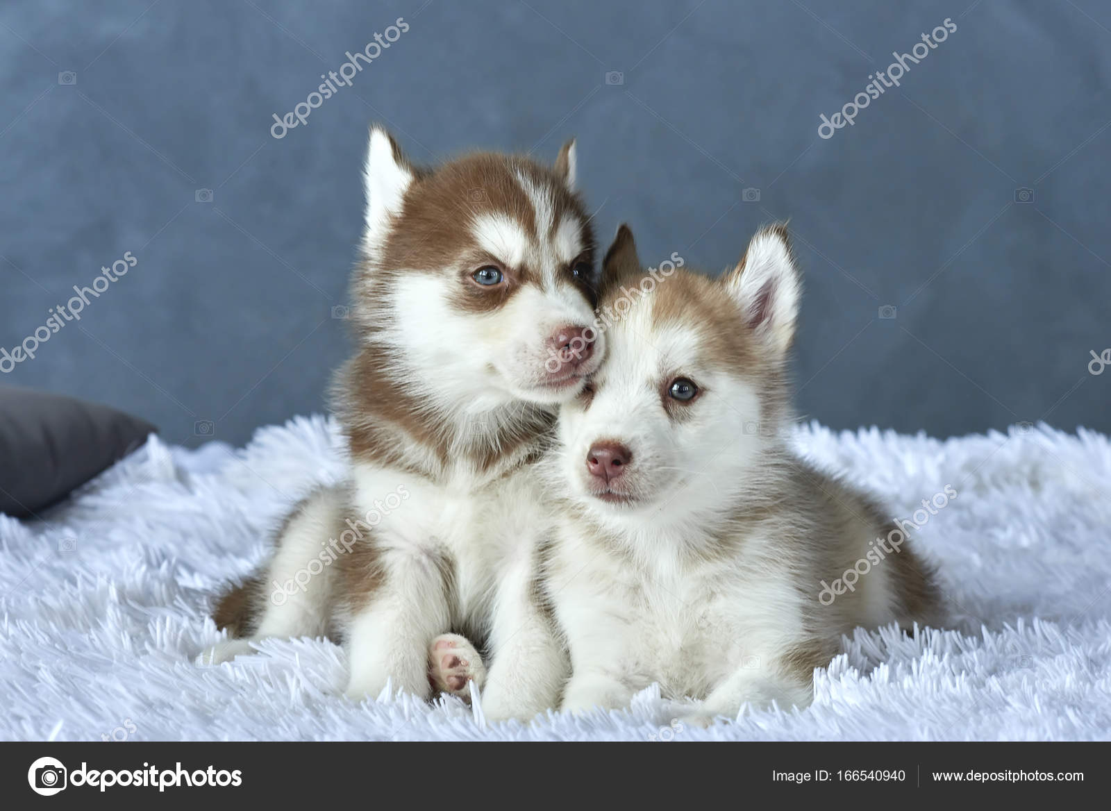 Two Blue Eyed Copper And Light Red Husky Puppies Lying On White Blanket Stock Photo C Anniezhak 166540940