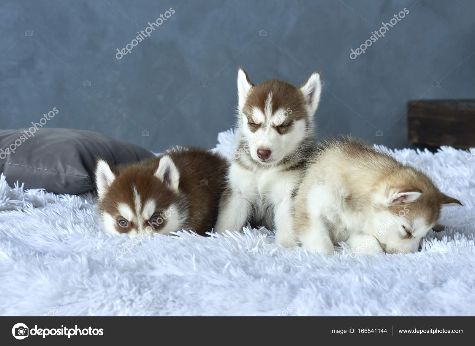 Three Blue Eyed Copper And Light Red Husky Puppies Lying On White
