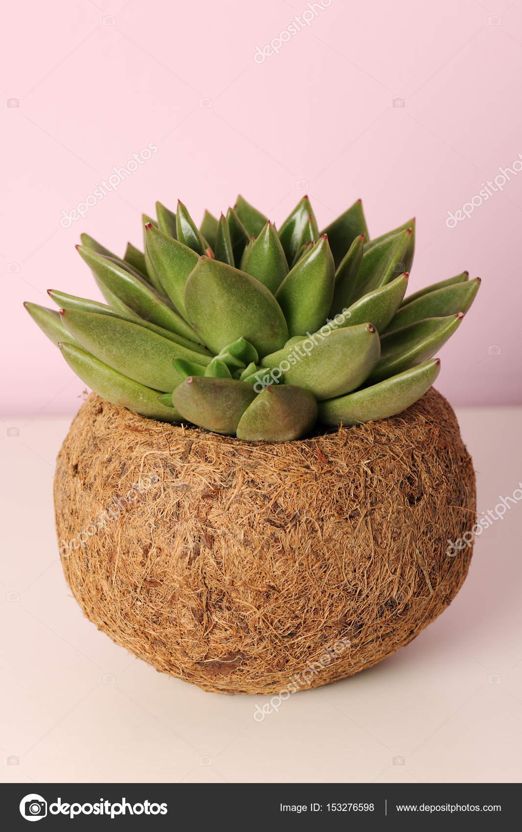 Pianta grassa in vaso foto stock annakhomulo 153276598 for Lithos pianta grassa
