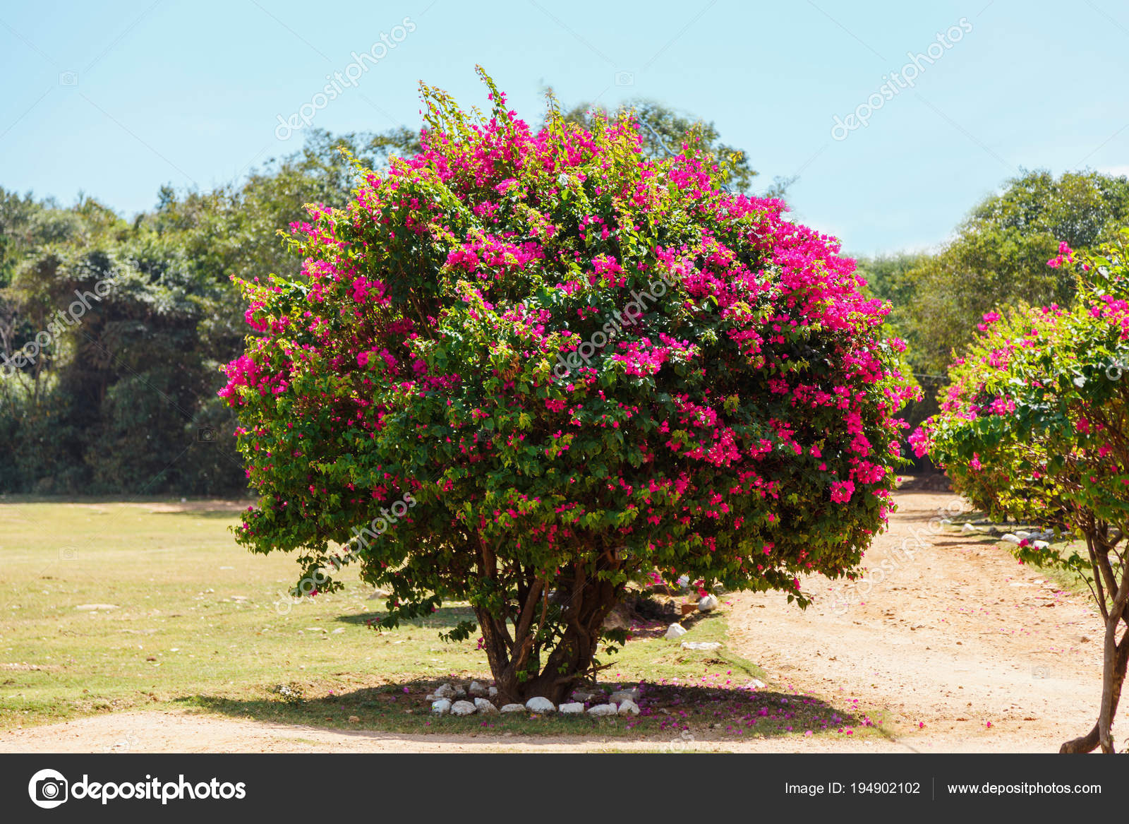 Large flowering bush with pink flowers stock photo batechenkofff large flowering bush with pink flowers stock photo mightylinksfo