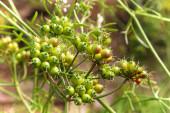 Closeup of green coriander seeds growing on umbels