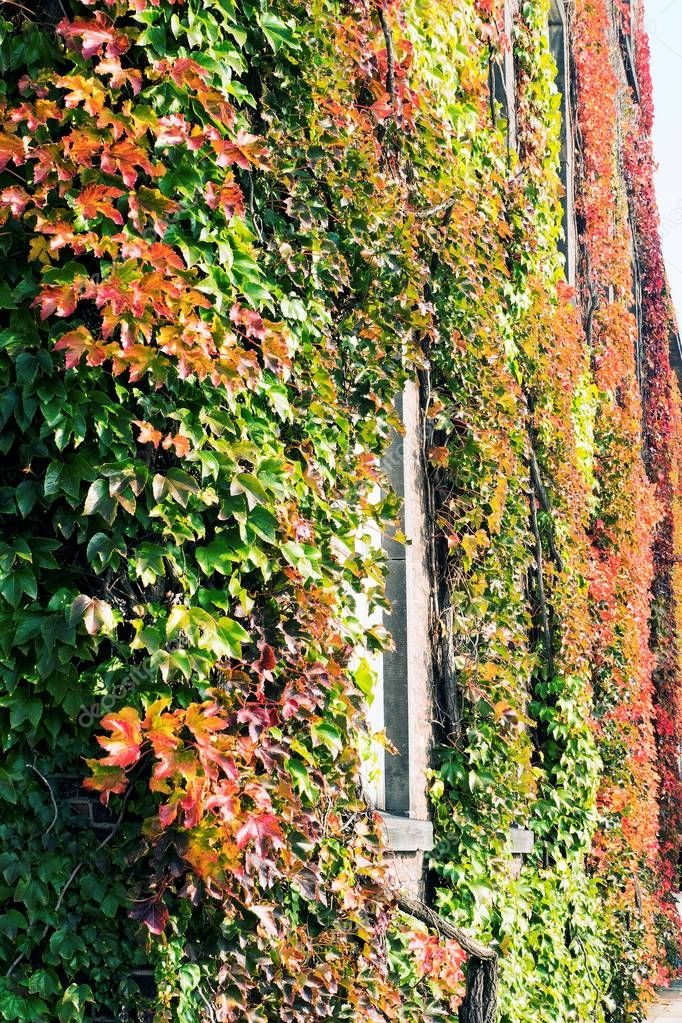Wild grapes on the wall, autumn.