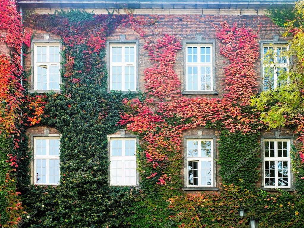Wild grapes on the facade of the building with windows, autumn.