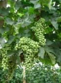 Víno a hrozny zelené šťavnaté hrozny odrůd